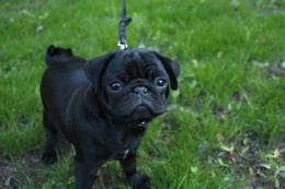 Add photos Pug puppy in your blog: 402