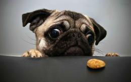 small pug dog wallpapers funny face of pug dog free download best 1544