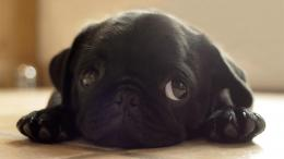 black animals dogs pugs puppies pug hd wallpapers jpg 267