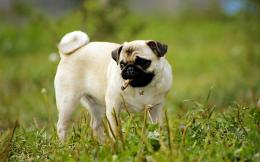 pug dog wallpapers new beautiful desktop background images of pug dog 859