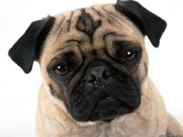 Pug Dog wallpaper 477