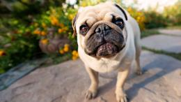pug puppies wallpaper hd pug valentine wallpaper pug wallpaper tumblr 1646