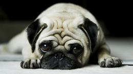 Pug Dog Hd Wallpaper 1922