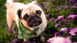 cute pug wallpaper funny pug dog wallpaper pug background wallpaper 1052