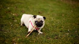 Pug Wallpapers 153