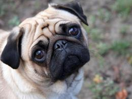 pug dog wallpapers viewed 11012 persons country of origin china 974