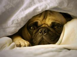 lazy pug under the blanket wallpaper 810