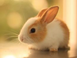 Description: The Wallpaper above is Cute rabbit hd Wallpaper in 1862