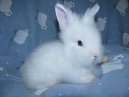 lionhead rabbit wallpaper 20632 hd wallpapers jpg 773