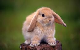 Rabbit HD Wallpapers 1726