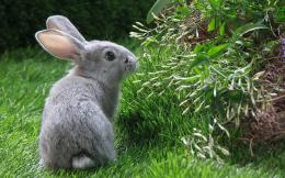 HD animal wallpaper of a gray rabbit in the backyard | Rabbit 830