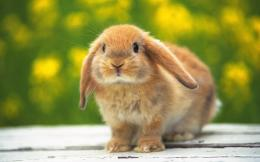 Cute Rabbit hd Wallpapers 2013 1140
