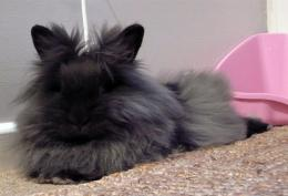 Lionhead Rabbit Wallpaper 14467 Hd Wallpapers in AnimalsImagesci 1515