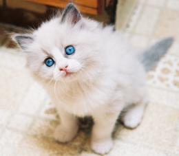 Ragdoll Cat HD Wallpapers 1260