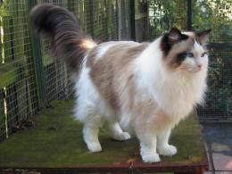 Ragdoll cat awesome images top hd wallpapers of cat ragdoll cat 1513