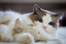 Ragdoll Cat HD Wallpapers 621