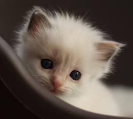 Ragdoll Cat HD Wallpapers 1153