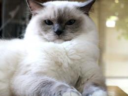ragdoll cat hd wallpapers top desktop background widescreen beautiful 554