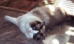 too cute ragdoll kittens hd 1050 amazing white cute cat hd desktop 1765