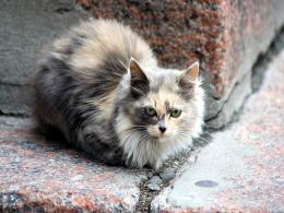 Ragdoll Cat HD Wallpapers 236