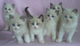 Cute ragdoll kittens cats animals HD Wallpaper 1090