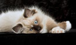 Ragdoll Cats Wallpaper 1143