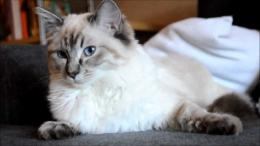 Ragdoll Cat HD Wallpaper 1280×720 with 1280x720 Resolution 1771