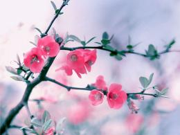 Pink Blossom Flowers HD Wallpapers 1704