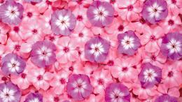 pink flower hd wallpaper pink flower top full hd wallpaper 247