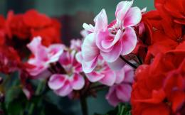 Pink Red Flowers 489