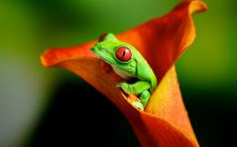 Download wallpaper Red eyed tree frog: 1684