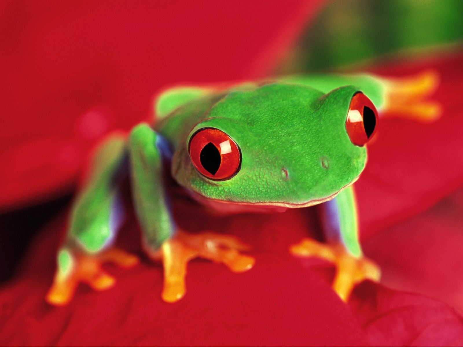 wallpaper title tree frog red eyed wallpaper category animals your 494