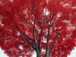 Red tree Desktop wallpapers 1600x1200 478