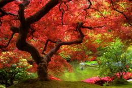 Maple Tree Wallpaper Desktop Background 1804