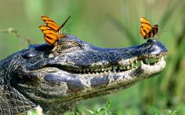 Crocodiles Insects Reptile HD wallpapers 992
