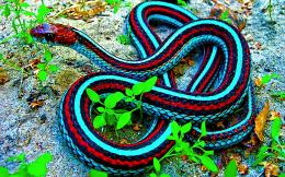 Red And Blue Snake Google Skins HD Wallpaper 328