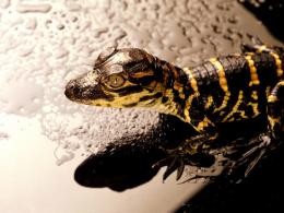 Reptiles HD Wallpapers 1338