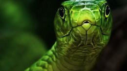 Nature Snake Green Snakes Reptiles Hd Online Wallpaper with 2560x1440 762