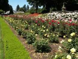 beautiful rose garden 1165