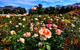 ROSE GARDEN~ HDR wallpaper 1506