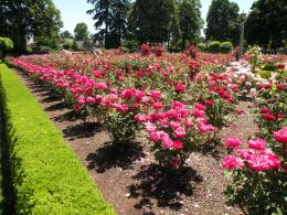 beautiful planted rose plant in rose garden 593