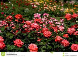rose garden wallpaper 1079
