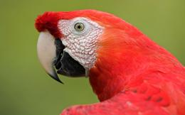 scarlet macaw birds high definition wallpapers cool desktop background 1175