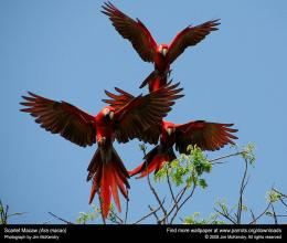 Scarlet Macaw Trio, This ScarletredMacaws in flight are really 1318