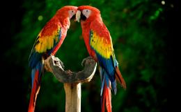 birds parrots Scarlet Macaws wallpaper background 454