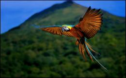 Flying Macaw Wallpaper pictures, photos in best quality 973
