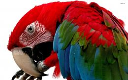 Animals Bird Macaw Scarlet Macaw 373