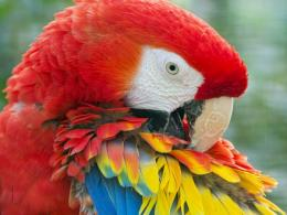 Scarlet Macaw Birds Wallpapers 1954