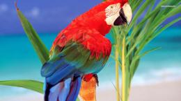 Scarlet Macaw wallpaper 1366x768 1972