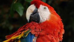 scarlet macaw birds high definition wallpapers lovely desktop 1781